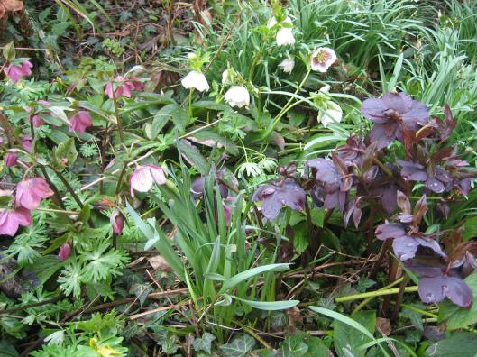 wonderful hellebores
