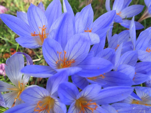 Autumn crocus, Great Dixter