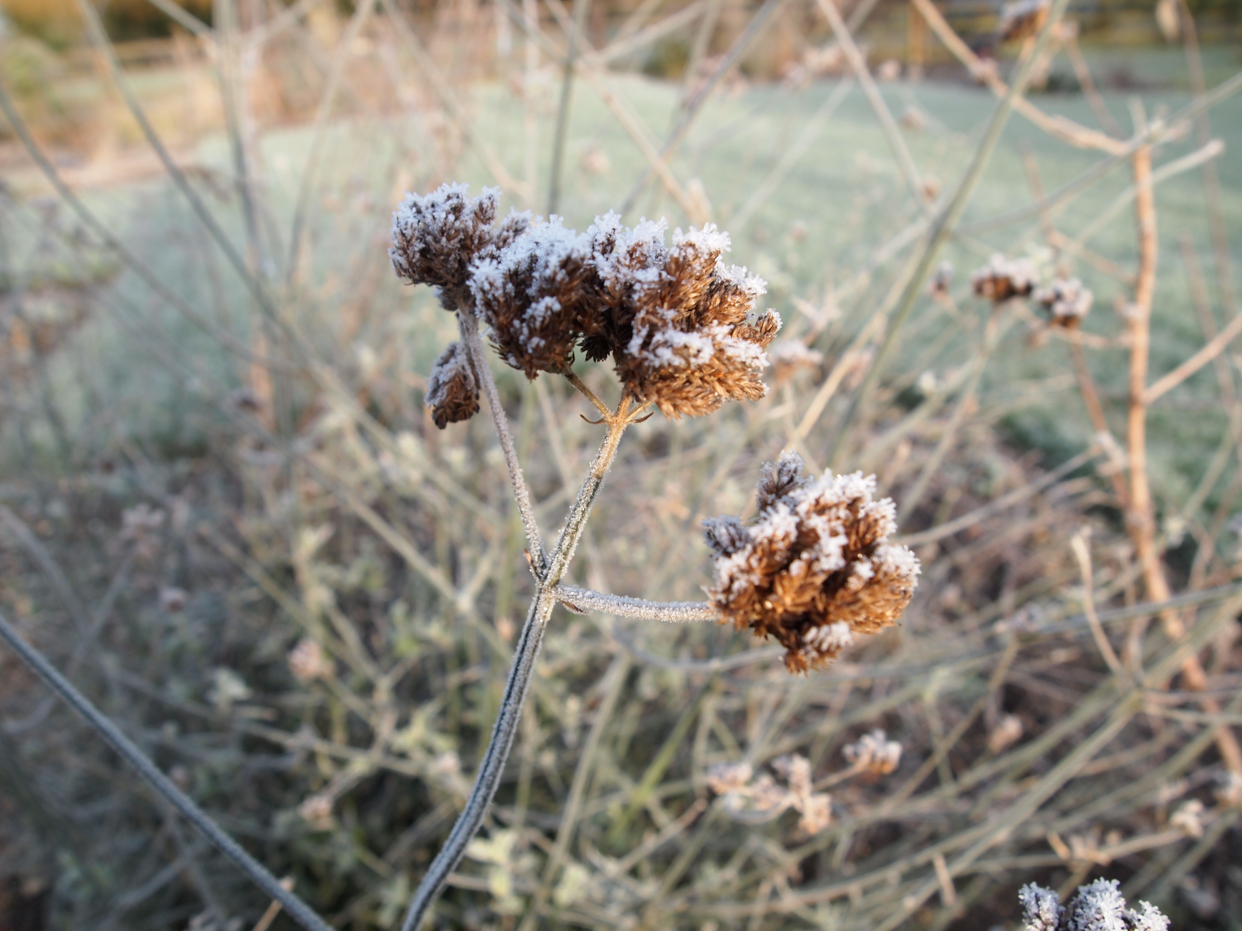 Verbena bonariensis with frost