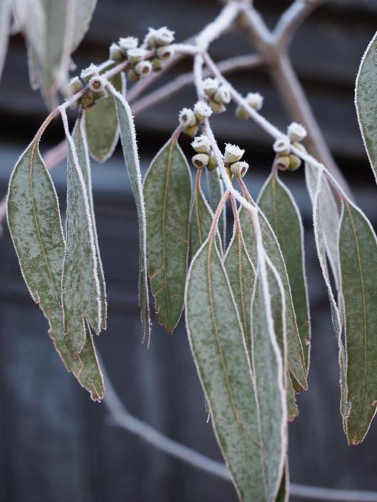 Frozen Eucalyptus foliage